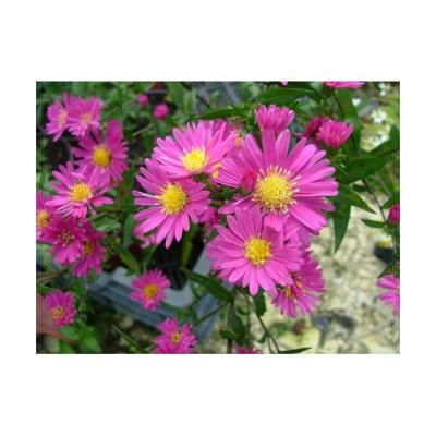 "Asters "" Néon """